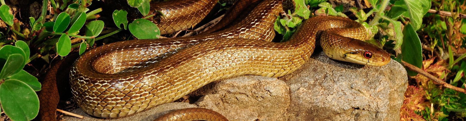 Messina Snake